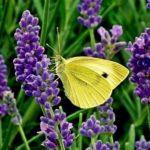 Lawenda uprawa: sadzenie, przycinanie i pielęgnacja