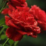 Zasady pielęgnacji róż w ogrodzie
