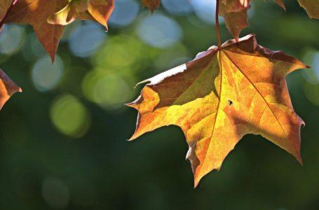 Spadające liście z drzewa sąsiada