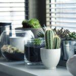 Kaktusy doniczkowe – jak pielęgnować kaktusy w domu